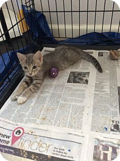 Domestic Shorthair Kitten for adoption in San Ramon, California - Lilo