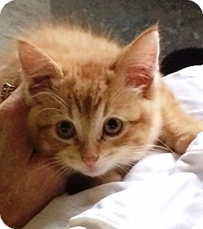 Domestic Shorthair Kitten for adoption in Manitowoc, Wisconsin - *Zeus*