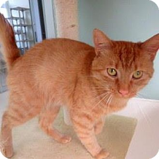 Domestic Shorthair Cat for adoption in Janesville, Wisconsin - Pizza