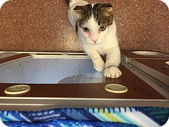 Domestic Mediumhair Cat for adoption in Meridian, Idaho - Cricket