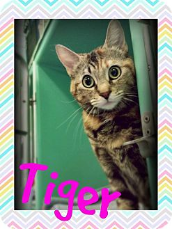 Domestic Shorthair Cat for adoption in Edwards AFB, California - Tiger