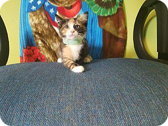 Domestic Shorthair Kitten for adoption in Moberly, Missouri - Callie