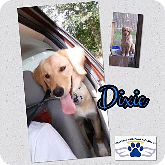 Golden Retriever/Border Collie Mix Dog for adoption in Folsom, Louisiana - Dixie III