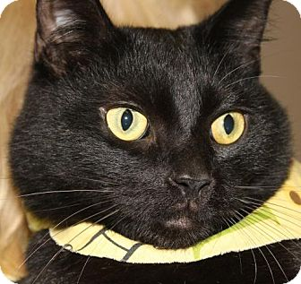 Domestic Shorthair Cat for adoption in Clayton, New Jersey - DANIEL