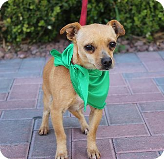 Chihuahua Mix Dog for adoption in Las Vegas, Nevada - TUTU