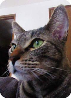Domestic Shorthair Cat for adoption in Roslyn, Washington - Theo