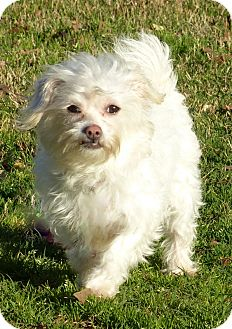 Westie, West Highland White Terrier/Poodle (Toy or Tea Cup) Mix Dog for adoption in Anderson, South Carolina - Carmine