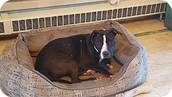Pit Bull Terrier Mix Dog for adoption in Blue Bell, Pennsylvania - Saleen