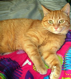 Domestic Shorthair Cat for adoption in Chesterland, Ohio - Cody