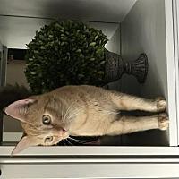 Adopt A Pet :: Cowboy - Rochester, MI