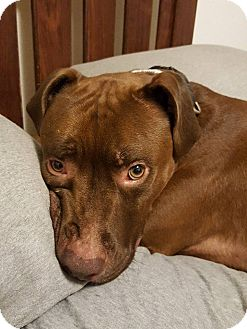 Terrier (Unknown Type, Medium)/Labrador Retriever Mix Dog for adoption in Jerseyville, Illinois - Teddy