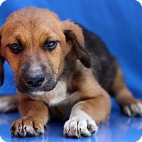 Adopt A Pet :: Rengar - Waldorf, MD