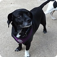 Beagle Mix Dog for adoption in Memphis, Tennessee - Selma