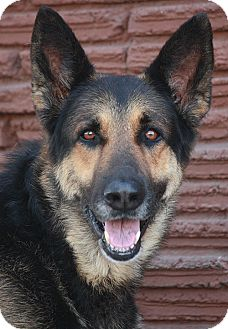 German Shepherd Dog Mix Dog for adoption in Los Angeles, California - Rico von Richtenberg