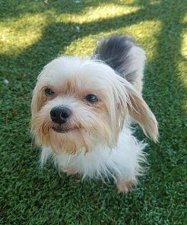 Yorkie, Yorkshire Terrier Dog for adoption in Temecula, California - Martin