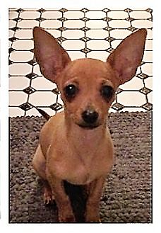 Chihuahua Dog for adoption in Vernon, Connecticut - Janie