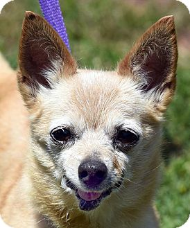 Chihuahua Mix Dog for adoption in New Haven, Connecticut - MCGRUFF