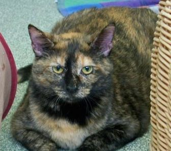 Domestic Shorthair/Domestic Shorthair Mix Cat for adoption in Elkhorn, Wisconsin - Sally