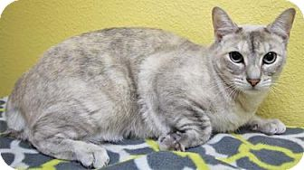 Domestic Shorthair Cat for adoption in Benbrook, Texas - Celeste