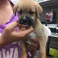 Adopt A Pet :: Stanley - Phoenix, AZ