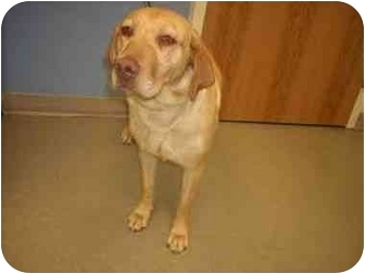 Labrador Retriever Dog for adoption in Evergreen, Colorado - Teela