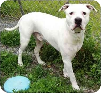 American Pit Bull Terrier/American Bulldog Mix Dog for adoption in Howes Cave, New York - Bruno - On Hold
