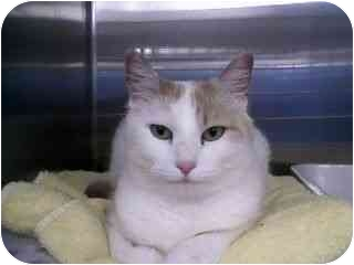 Domestic Shorthair Cat for adoption in Greenville, South Carolina - Allie