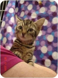 Domestic Shorthair Kitten for adoption in Jacksonville, North Carolina - Sassy