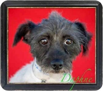 Terrier (Unknown Type, Small)/Shih Tzu Mix Dog for adoption in Orange, California - Daphne