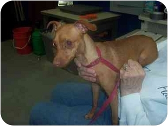 """Miniature Pinscher Mix Dog for adoption in MARION, Virginia - """"Ruby"""""""