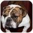 Photo 1 - English Bulldog Dog for adoption in Park Ridge, Illinois - Georgia