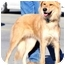 Photo 3 - Golden Retriever/Collie Mix Dog for adoption in Pawling, New York - LOGAN
