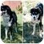 Photo 3 - Border Collie/Australian Shepherd Mix Dog for adoption in San Pedro, California - J.J.