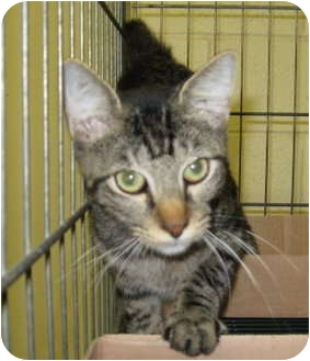 Domestic Shorthair Cat for adoption in Stillwater, Oklahoma - Nighthawk