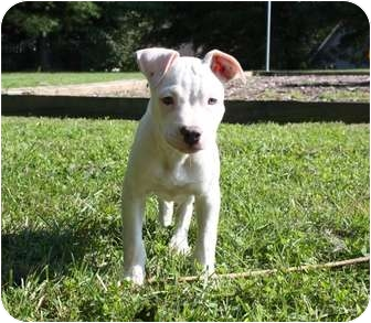 American Pit Bull Terrier Mix Puppy for adoption in Reisterstown, Maryland - Frank