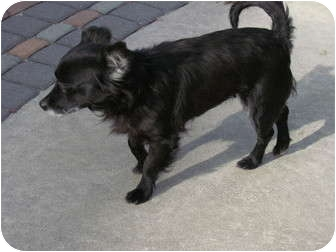 Spaniel (Unknown Type)/Chihuahua Mix Dog for adoption in Manahawkin, New Jersey - Millie