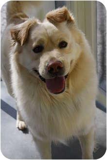 Golden Retriever/Samoyed Mix Dog for adoption in Windham, New Hampshire - Patrick