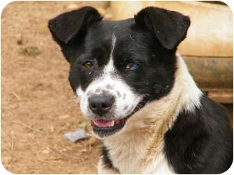 Border Collie Mix Dog for adoption in Owingsville, Kentucky - Virgie