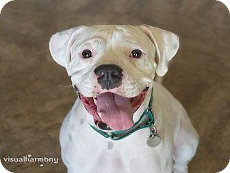 Boxer Mix Dog for adoption in Phoenix, Arizona - Pluto