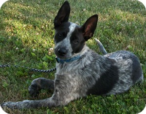 Australian Cattle Dog Mix Puppy for adoption in Struthers, Ohio - Major