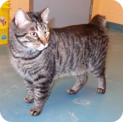 American Bobtail Cat for adoption in Germantown, Tennessee - Big Daddy