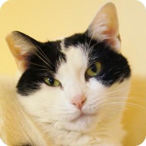 Domestic Shorthair Cat for adoption in Medford, Massachusetts - Spotty