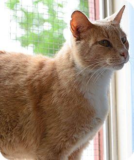 Domestic Mediumhair Cat for adoption in Gardnerville, Nevada - Sammy