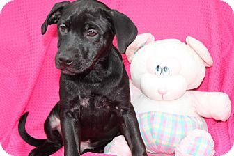 Labrador Retriever Mix Puppy for adoption in Salem, New Hampshire - Miner