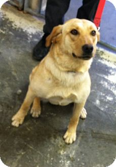 Labrador Retriever Mix Dog for adoption in Greensburg, Pennsylvania - Bella Boo
