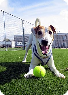 Jack Russell Terrier Mix Dog for adoption in Meridian, Idaho - Bodie