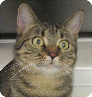 Domestic Shorthair Cat for adoption in Pueblo West, Colorado - Savanah