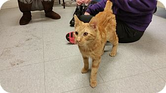 American Shorthair Cat for adoption in Indianola, Iowa - Peeta