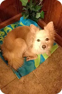 Pomeranian/Chihuahua Mix Dog for adoption in Garwood, New Jersey - Sandy