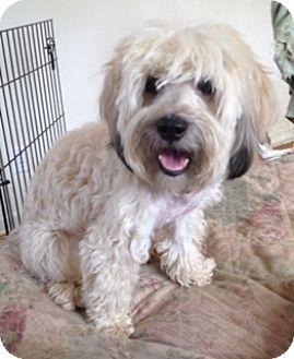 Wheaten Terrier/Maltese Mix Dog for adoption in Highland Park, New Jersey - Jasper